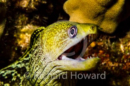 ©RichardHoward Reticulated Moray Eel