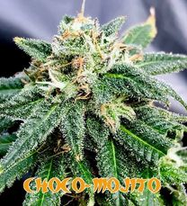 More Strains | Captain Red Beard Seeds