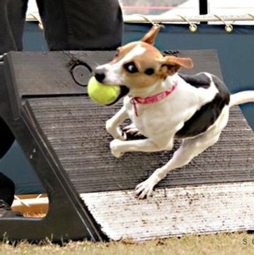 Flyball Training in Cheltenham with Cotswold Dog training. Best Flyball training available in the UK