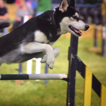 Agility Training in Cheltenham with Cotswold Dog training. Best Agility training available in UK