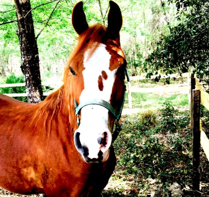 Arabian horse/quarter horse mix. Lake Louisa Trail rides. P3.