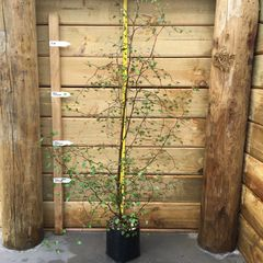 Ideal for dry exposed sites as shelter or specimen, can be trimmed as hedge. PB5