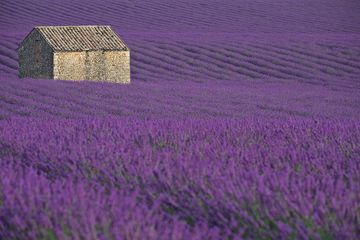 The famous lavender fields of the Valensole Plains.