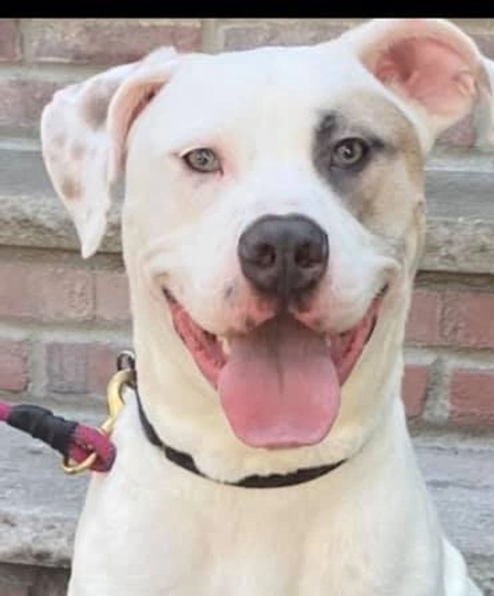 Tyrian is an American Bulldog Mix and weighs about 80 lbs. He is 12 to 18 months old. Selective with