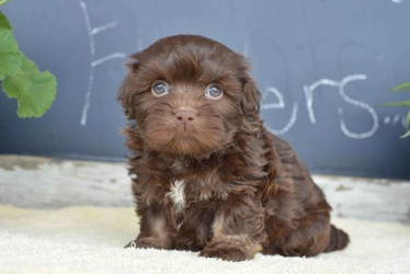 Havanese Puppies For Sale Sunset Valley Canines