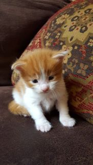 Kittens for Sale - Conyers Cat Maine Coons