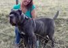 "Lindsay with ""Bintu"" one of her mastiffs ""One of the most lovely dogs Ive ever had"""