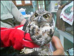 Delivering Injured Owl to the AARK by Animal Management