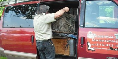 Humanely Captured Raccoon by Animal Management