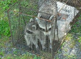 Humanely Captured Mother & Baby Raccoons by Animal Management