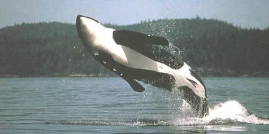 Image of orca whale breaching san juan island elopement weddings orcas island elopement weddings