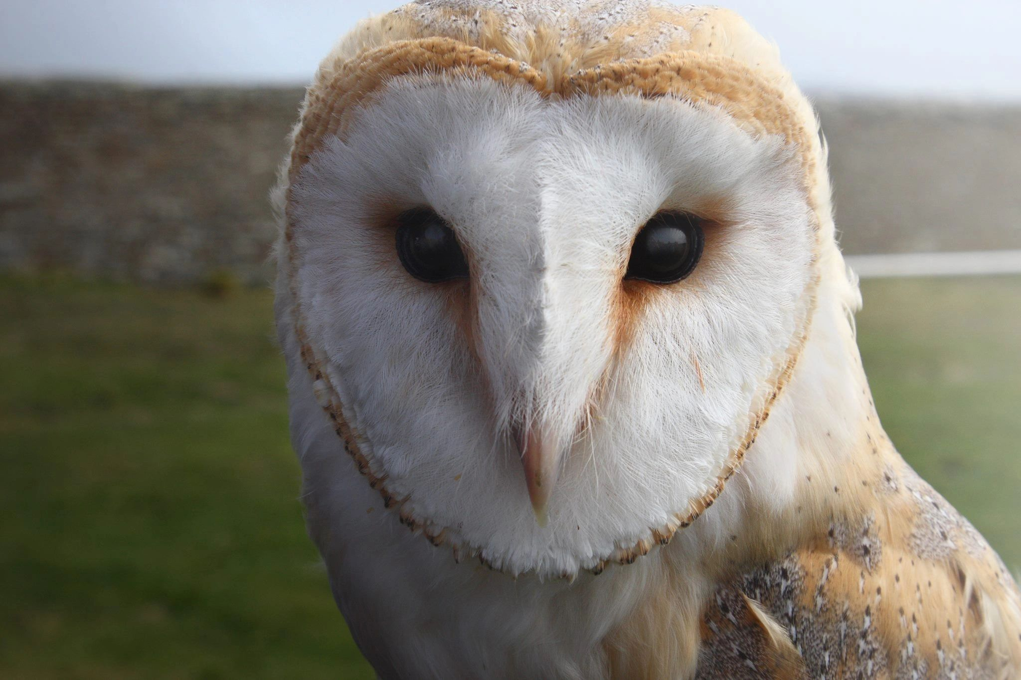 Peedie the Barn Owl