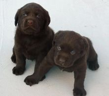Cute Chocolate Labrador Retriever Ontario Puppies