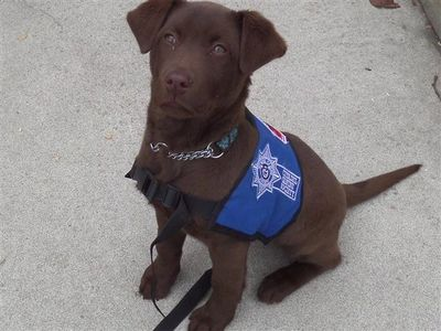 Chocolate Labrador Retriever PTSD Support Dog Patty