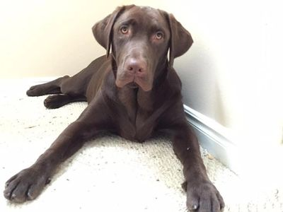 Chocolate Lab Retriever Lying Down