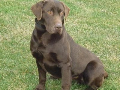 Our Chocolate Lab  Retriever Zeeke