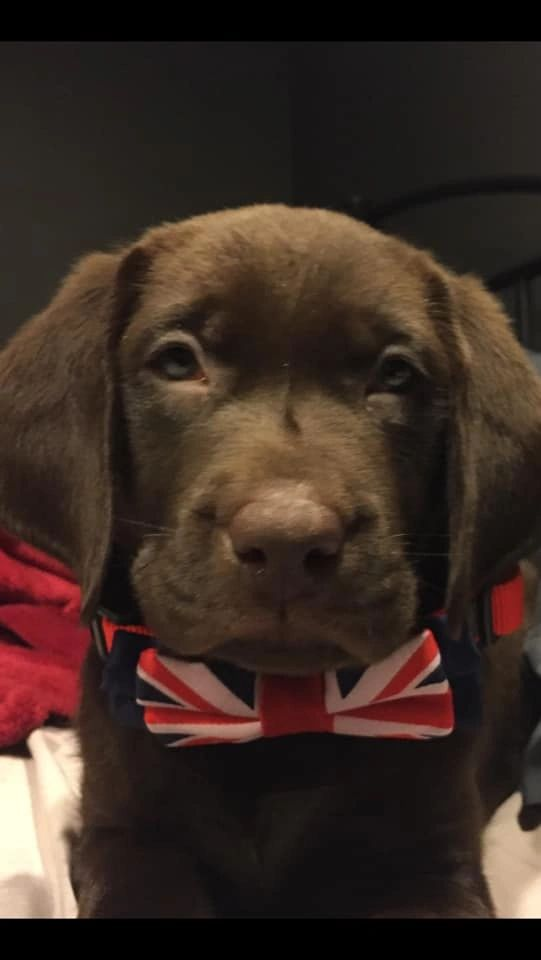 Why Chocolate Labs are the Best Color Lab