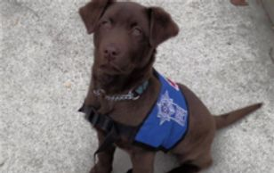 Chocolate Lab Ontario Service Dog for PTSD