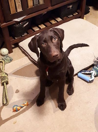 Labrador Puppy Training Tips