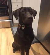 Chocolate Labrador Retriever sitting pretty