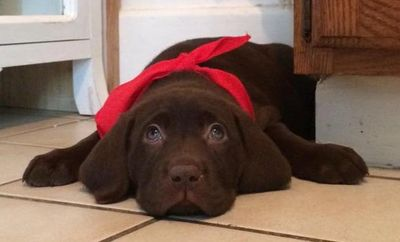 Click the chocolate lab puppy & sign up for our emails!