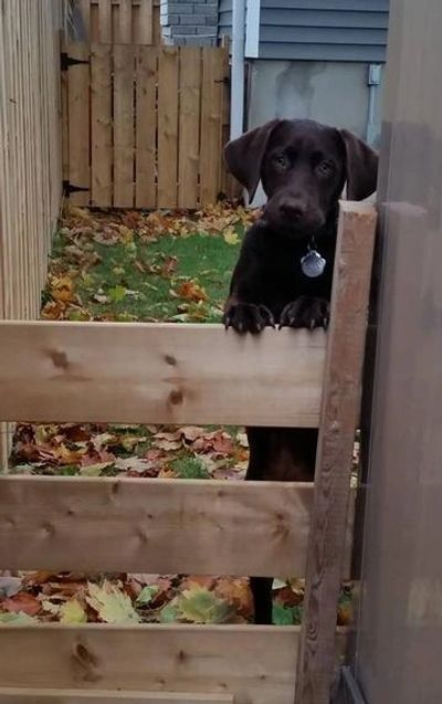 Registered Chocolate Lab Retriever  on a fence.