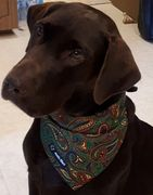Chocolate Lab with dog bandana at www.zeekedawg.com