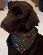 Chocolate Lab Ontario with dog bandana at www.zeekedawg.com