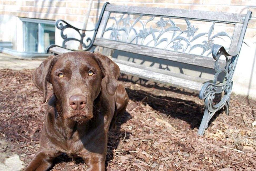 Chocolate Labrador Retriever Puppy Ottawa.