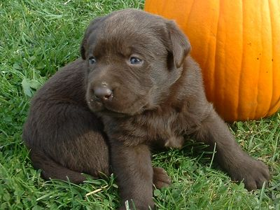 Choosing Purebred Lab Retriever Puppies