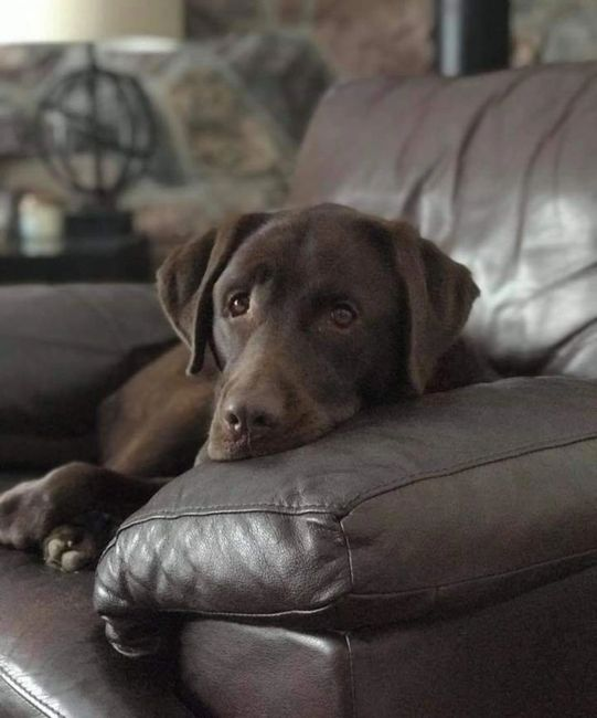 Labrador Retriever Puppy Windsor Ontario on the couch
