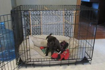 Chocolate Lab Puppy Ontario Jetta in training, playing in her crate in the kitchen.