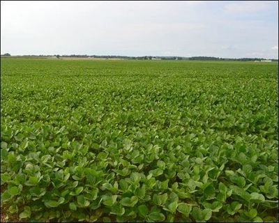 GMO Soy Bean Field - Can you Tell?