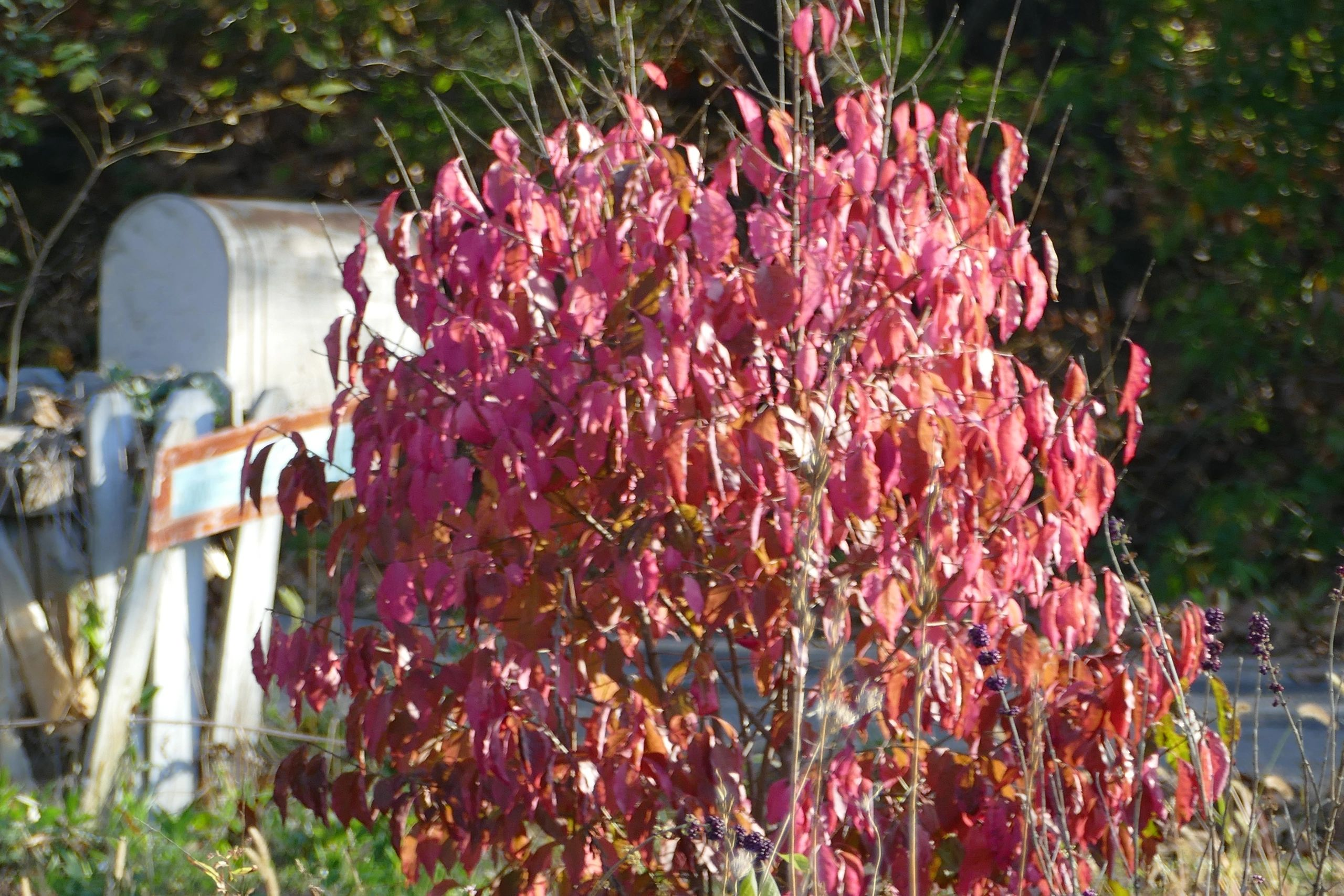 "{""blocks"":[{""key"":""90ofk"",""text"":""photo Euonymus atropurpureus Eastern Wahoo - potted plants email john@easywildflowers.com "",""type"":""unstyled"",""depth"":0,""inlineStyleRanges"":[],""entityRanges"":[],""data"":{}}],""entityMap"":{}}"