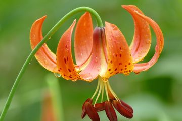 Lilium superbum American Turk's Cap Lily flower Turban Lily native potted plant