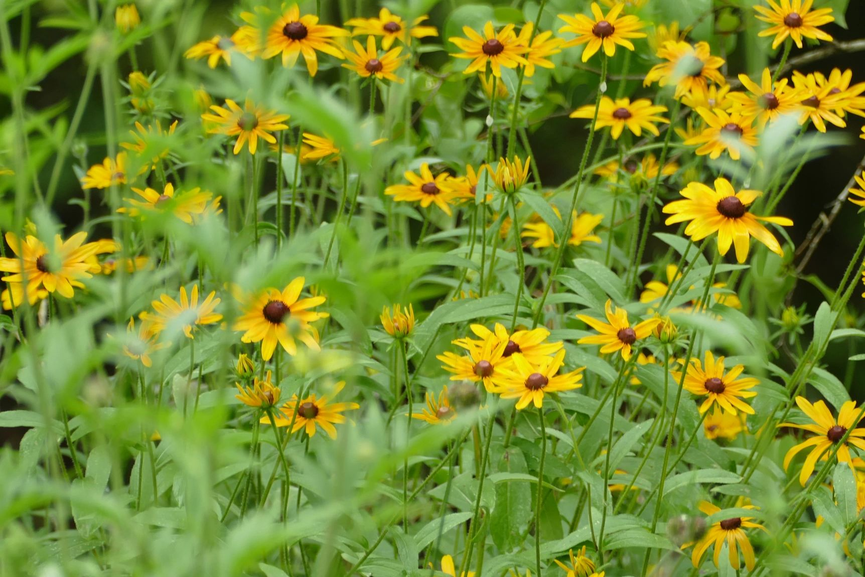 "{""blocks"":[{""key"":""l1l0"",""text"":""Rudbeckia missouriensis Missouri Coneflower, Missouri Black-eyed  Susan - potted plants email john@easywildflowers.com"",""type"":""unstyled"",""depth"":0,""inlineStyleRanges"":[],""entityRanges"":[],""data"":{}}],""entityMap"":{}}"