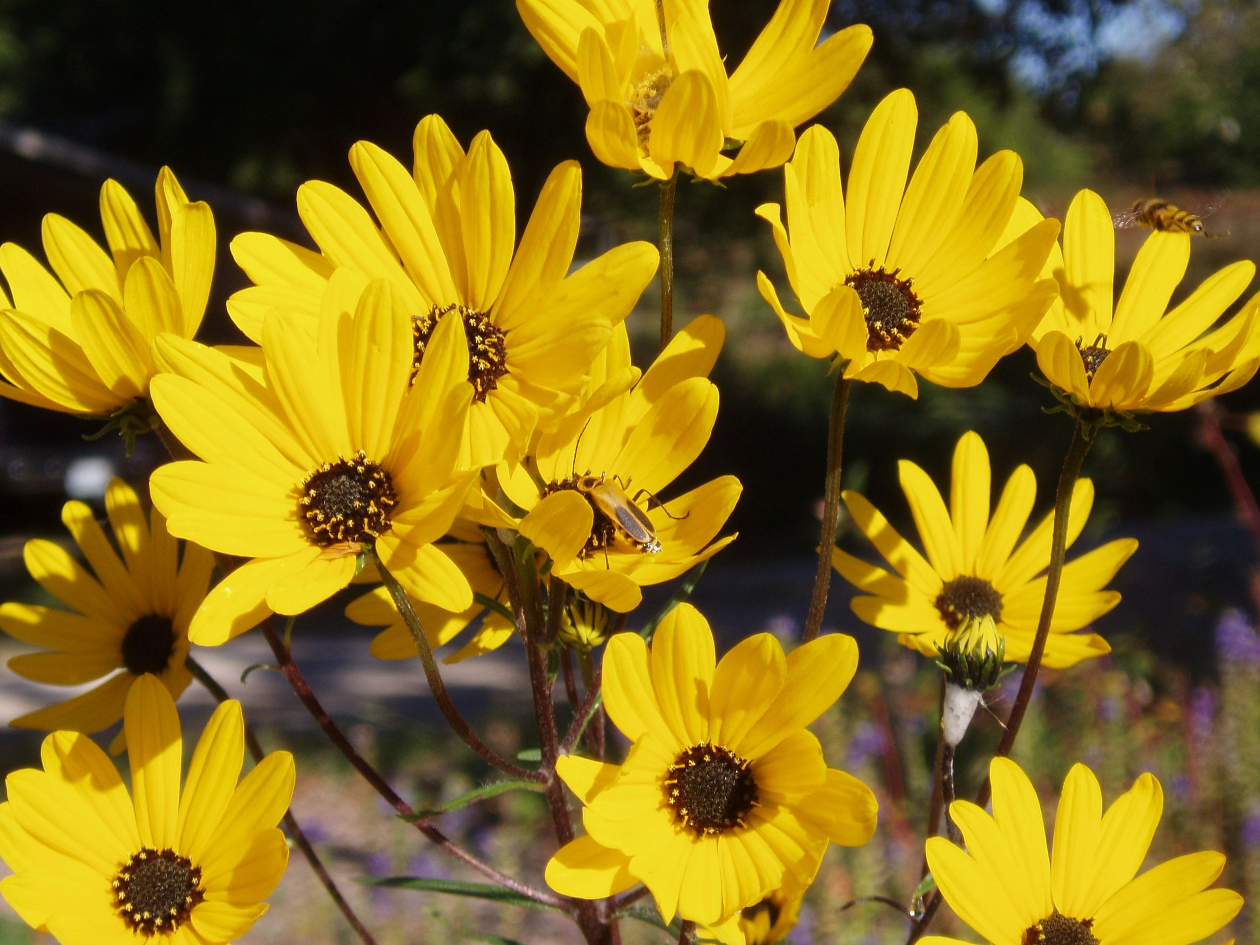 "{""blocks"":[{""key"":""2vo4"",""text"":"" Helianthus angustifolius Swamp Sunflower -  potted plants john@easywildflowers.com  "",""type"":""unstyled"",""depth"":0,""inlineStyleRanges"":[],""entityRanges"":[],""data"":{}}],""entityMap"":{}}"