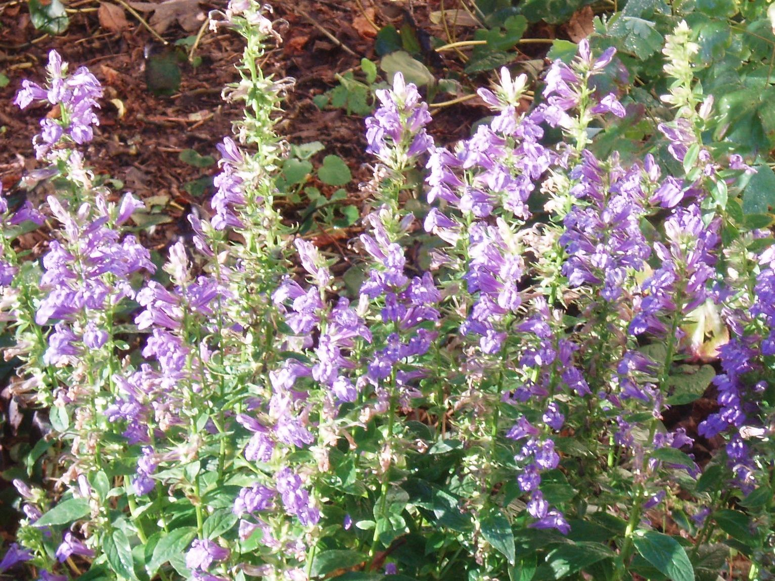 "{""blocks"":[{""key"":""cctku"",""text"":""Lobelia siphilitica Great Blue Lobelia Blue Cardinal Flower - potted plants email john@easywildflowers.com"",""type"":""unstyled"",""depth"":0,""inlineStyleRanges"":[],""entityRanges"":[],""data"":{}}],""entityMap"":{}}"