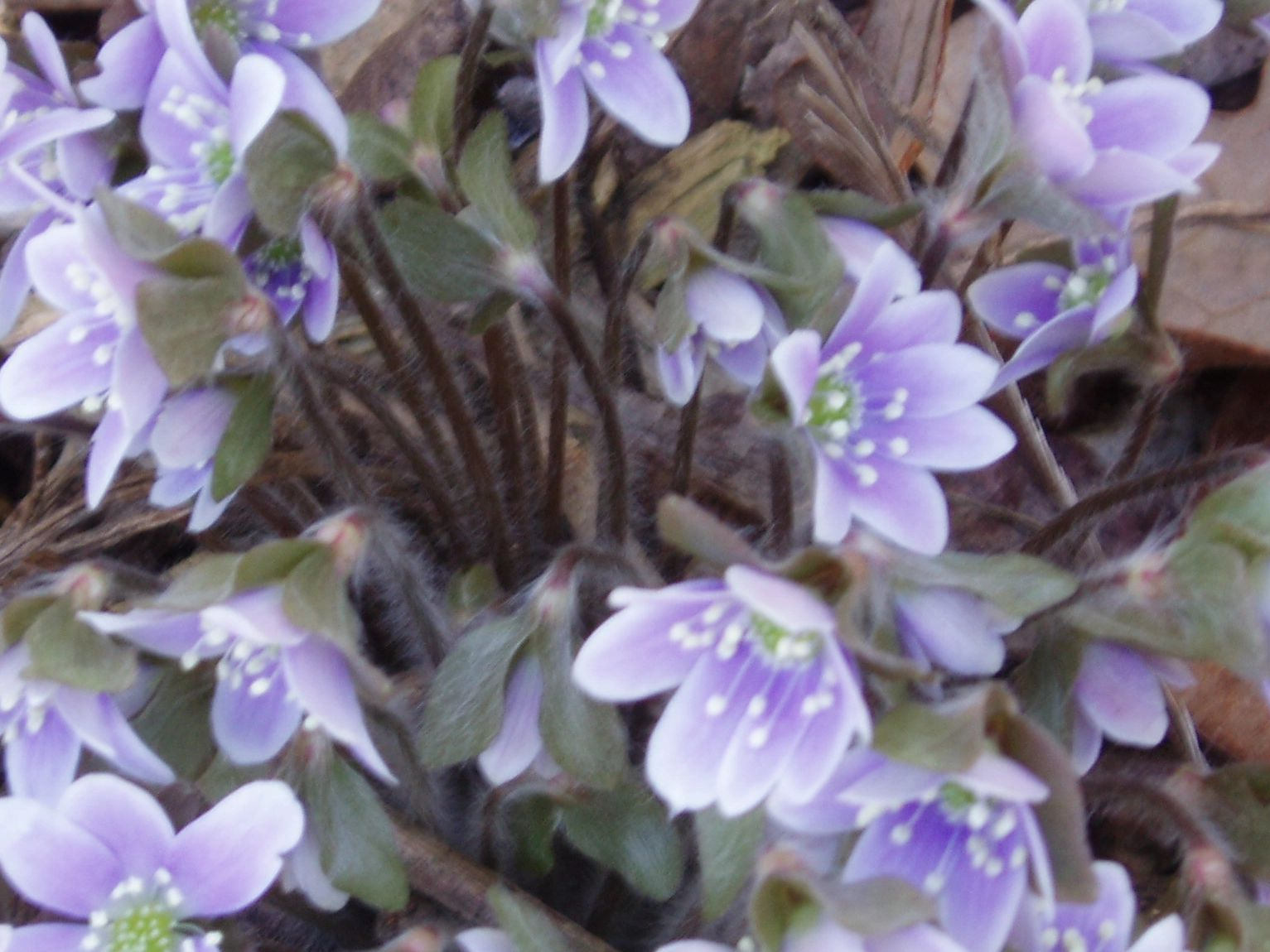"{""blocks"":[{""key"":""dqfcu"",""text"":""Hepatica nobilis var.obtusa Round Lobed Hepatica  liver leaf - potted plants email john@easywildflowers.com"",""type"":""unstyled"",""depth"":0,""inlineStyleRanges"":[],""entityRanges"":[],""data"":{}}],""entityMap"":{}}"