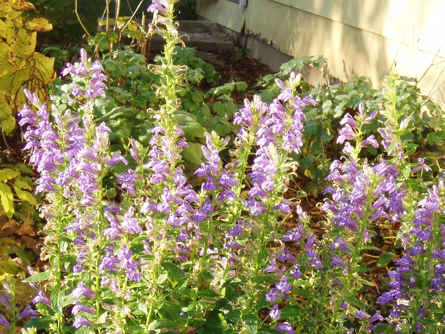 "{""blocks"":[{""key"":""enh5h"",""text"":""Lobelia siphilitica Great Blue Lobelia Blue Cardinal Flower - potted plants email john@easywildflowers.com"",""type"":""unstyled"",""depth"":0,""inlineStyleRanges"":[],""entityRanges"":[],""data"":{}}],""entityMap"":{}}"