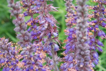 Amorpha canescens Leadplant Potted Plants, contact john@easywildflowers.com