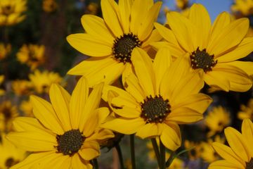 Helianthus angustifolius Swamp Sunflower  butterfly host potted plants narrowleaf sunflower