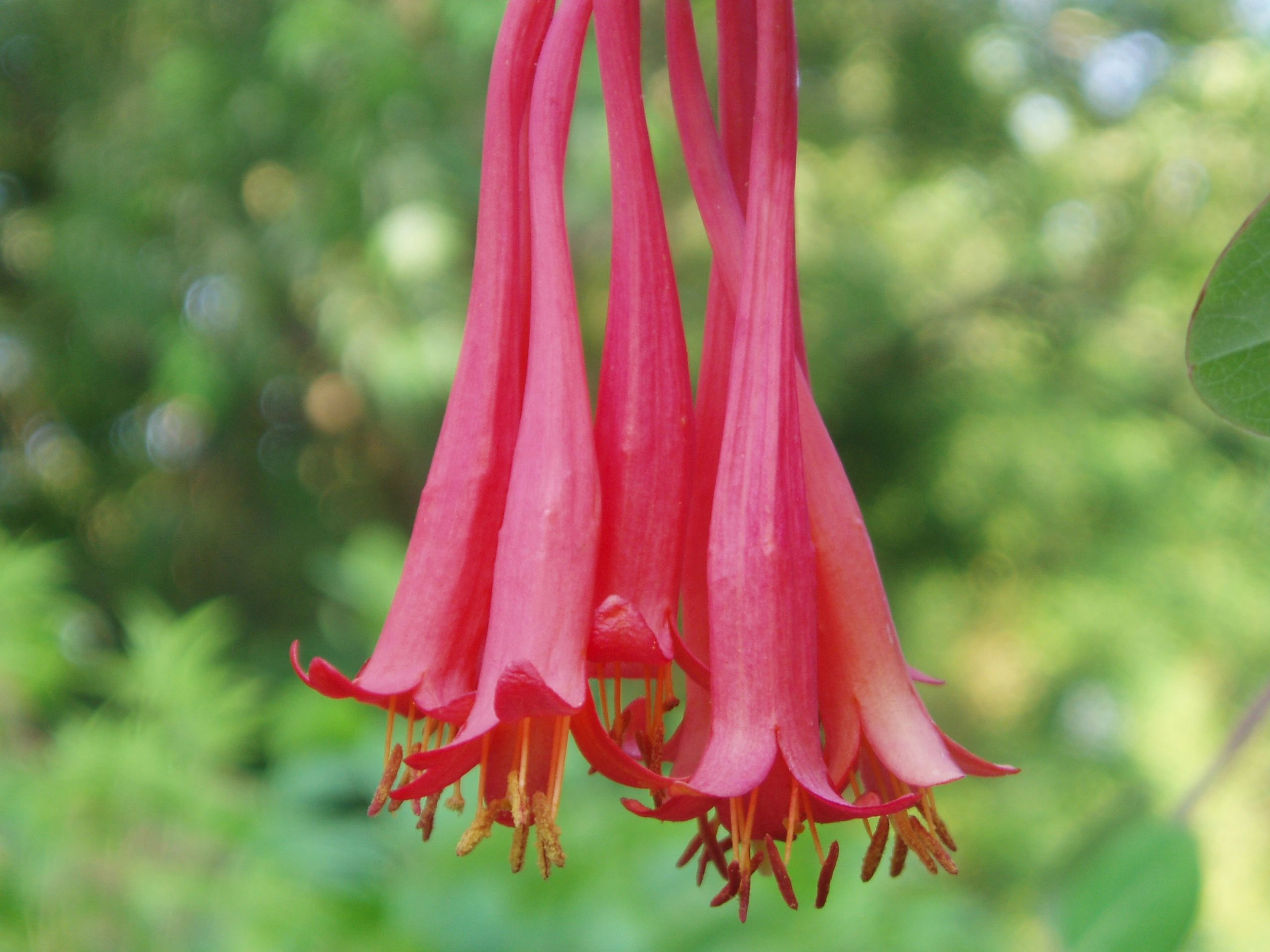 "{""blocks"":[{""key"":""dg77r"",""text"":""Lonicera sempervirons Red Trumpet Honeysuckle Vine, -  potted plants email john@easywildflowers.com  john@easywildflowers.com  "",""type"":""unstyled"",""depth"":0,""inlineStyleRanges"":[],""entityRanges"":[],""data"":{}}],""entityMap"":{}}"