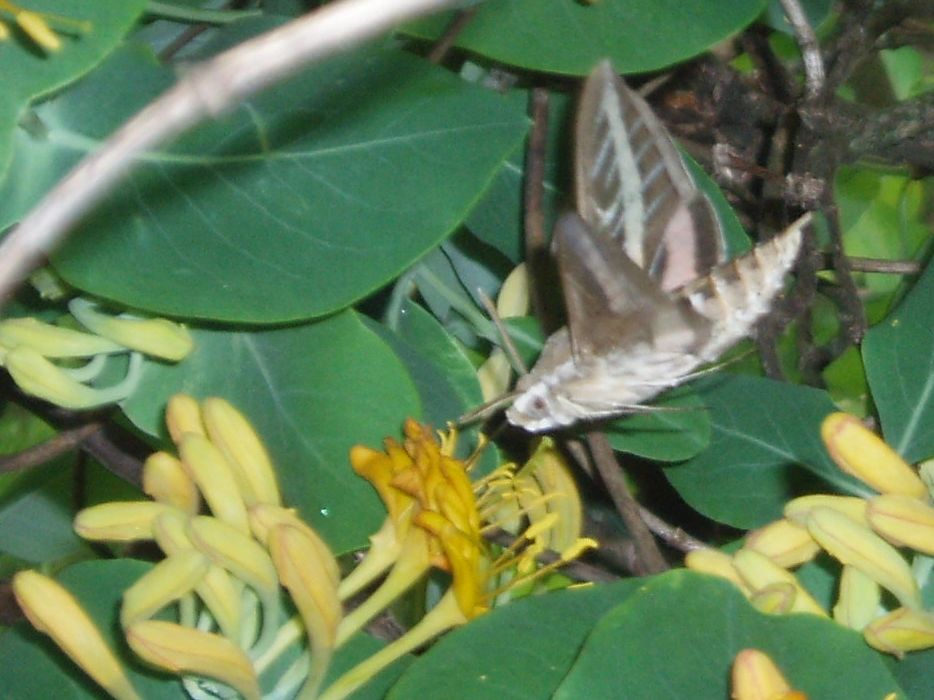 "{""blocks"":[{""key"":""c7kmg"",""text"":""Clearwing Hummingbird Moth on Lonicera flava Native Yellow Honeysuckle Vine, -  potted plants email john@easywildflowers.com"",""type"":""unstyled"",""depth"":0,""inlineStyleRanges"":[],""entityRanges"":[],""data"":{}}],""entityMap"":{}}"