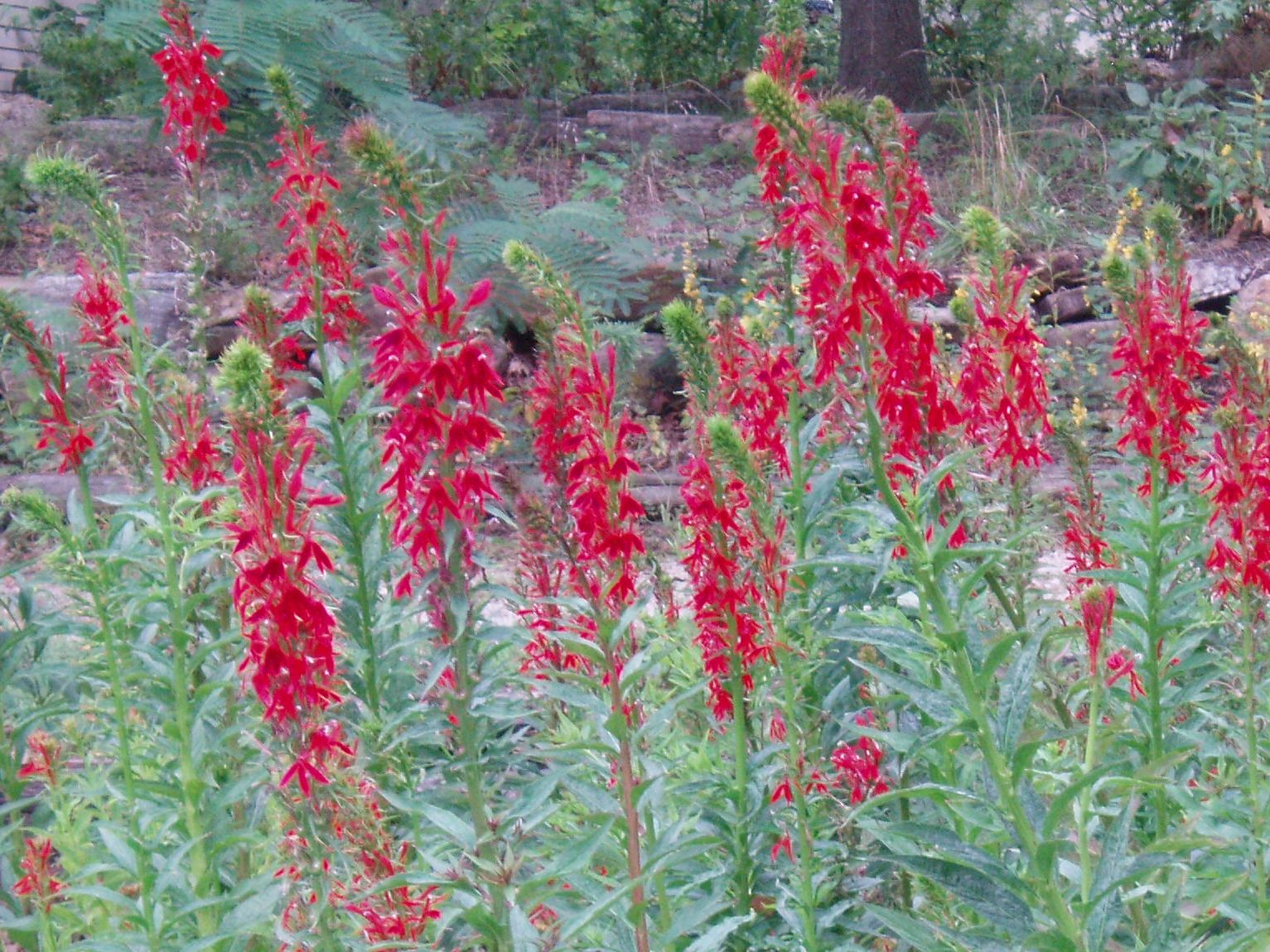 "{""blocks"":[{""key"":""eku0g"",""text"":"" Lobelia cardinalis Red Cardinal Flower - potted plants email john@easywildflowers.com  "",""type"":""unstyled"",""depth"":0,""inlineStyleRanges"":[],""entityRanges"":[],""data"":{}}],""entityMap"":{}}"