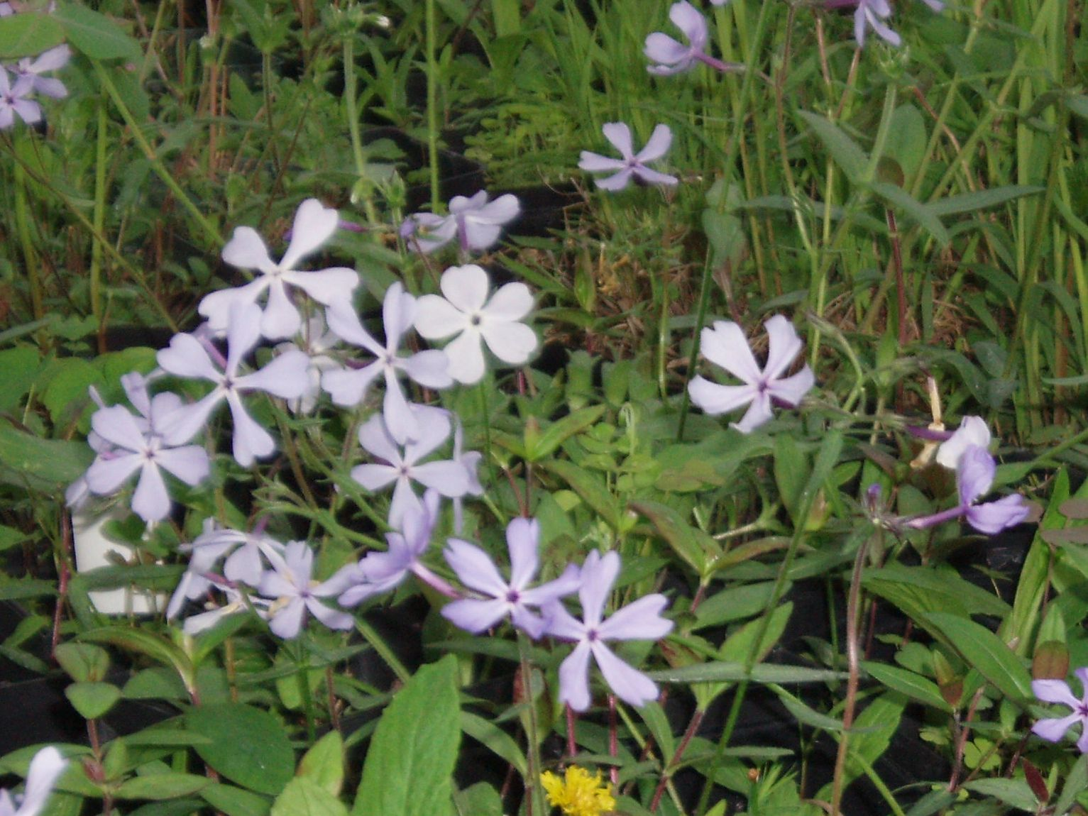 "{""blocks"":[{""key"":""52sh4"",""text"":"" Phlox divaricata Blue Woodland Phlox - potted plants email john@easywildflowers.com  "",""type"":""unstyled"",""depth"":0,""inlineStyleRanges"":[],""entityRanges"":[],""data"":{}}],""entityMap"":{}}"