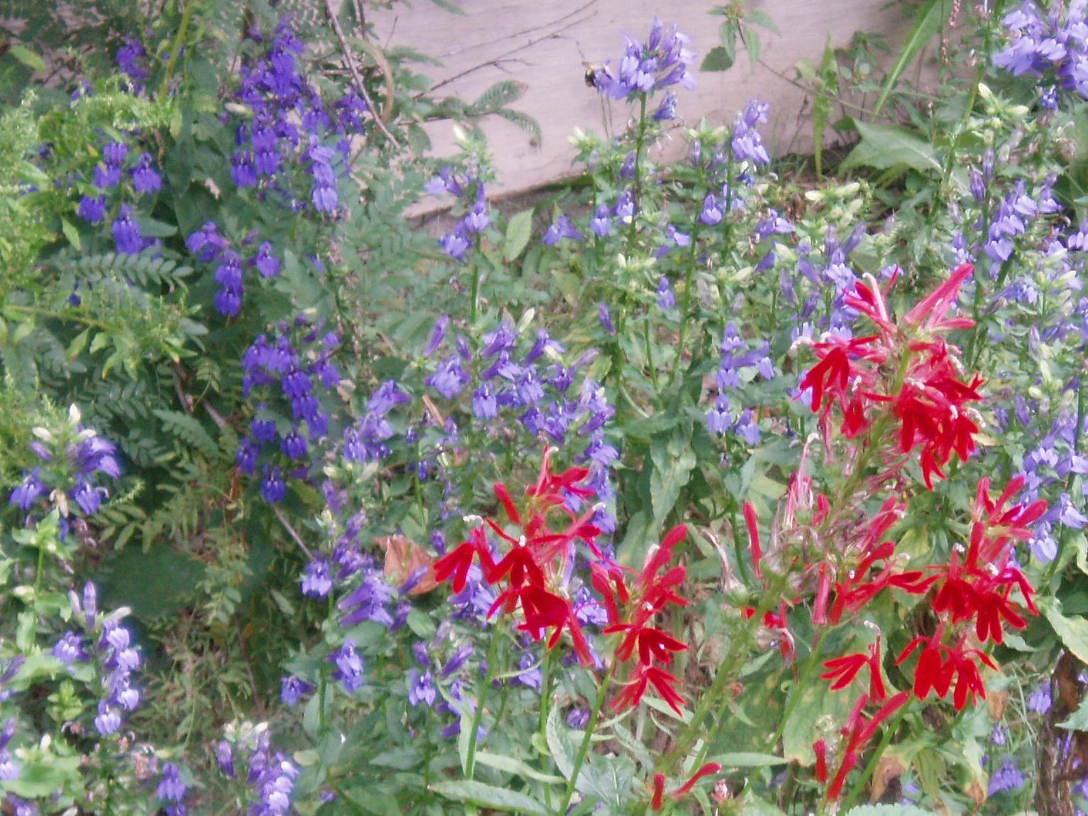 "{""blocks"":[{""key"":""66m7p"",""text"":"" Lobelia cardinalis Red Cardinal Flower with Blue Lobelia - potted plants email john@easywildflowers.com  "",""type"":""unstyled"",""depth"":0,""inlineStyleRanges"":[],""entityRanges"":[],""data"":{}}],""entityMap"":{}}"