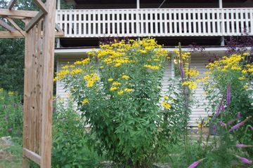 Rudbeckia subtomentosa Sweet Coneflower sweet blackeyed susan native wildflowers potted plants