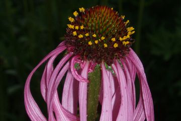 Echinacea simulate Glade Coneflower butterfly host potted plants