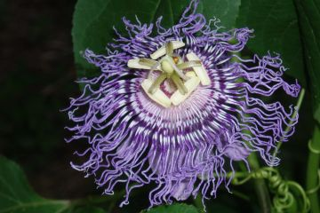 Flower Passiflora incarnata Purple Passion Flower Vine native wildflower butterfly host Potted Plant